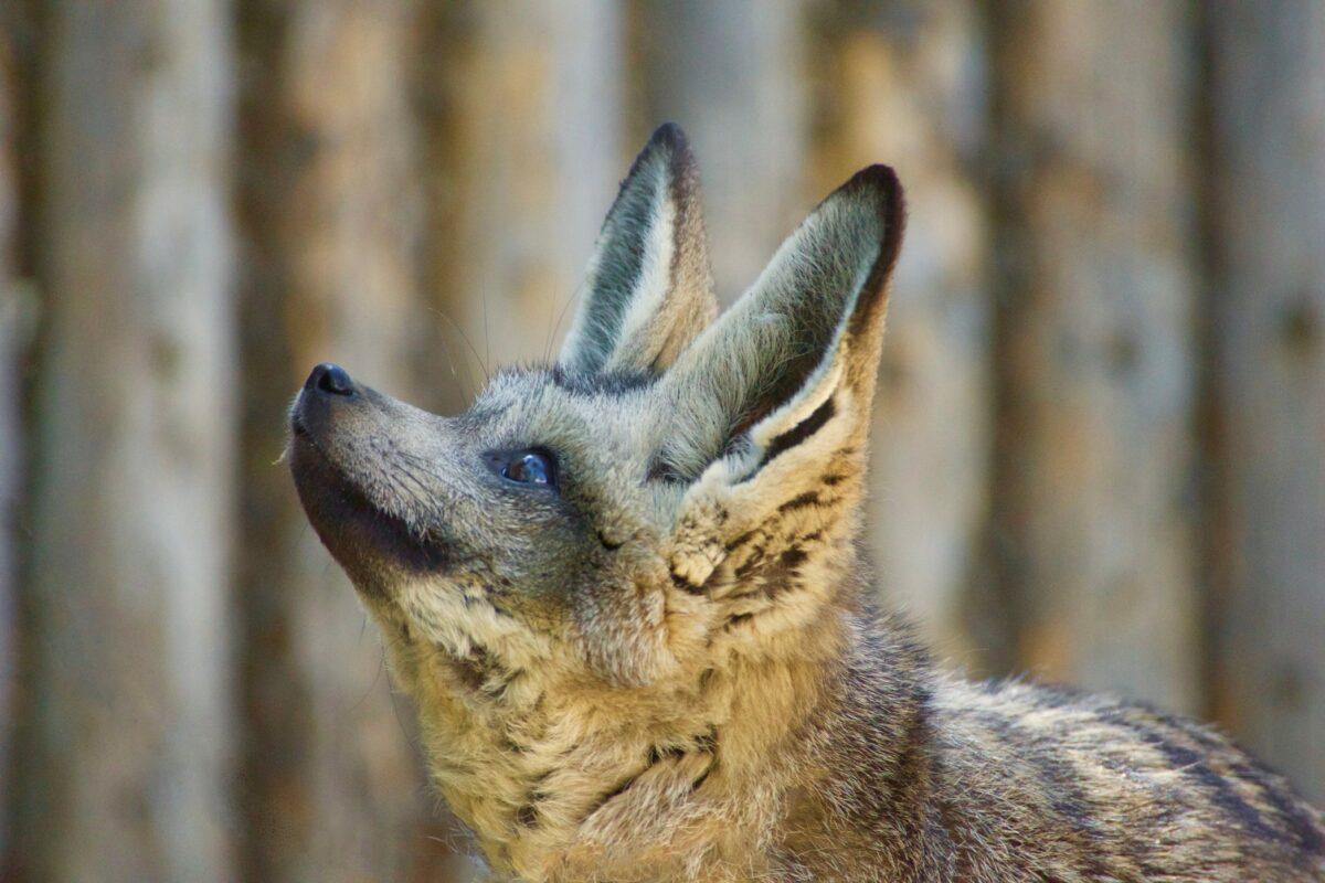 les renards Fennec